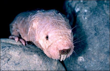 Naked mole rat (SPL)