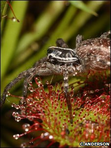 Wolf spider and pink sundew (Image: Christopher Anderson)