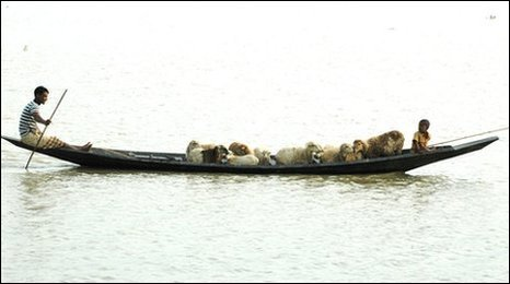 Sheep being ferried to higher ground
