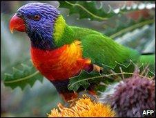 Rainbow lorikeet in Perth, Australia (file image)