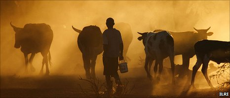 Cattle herd, Mozambique