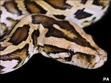 Burmese python (file photo)