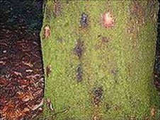Tree affected by Phytophthora ramorum infection (Photo: Forestry Commission Wales)