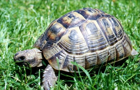 Earliest Evidence Of Pet Tortoise In Britain Bbc News