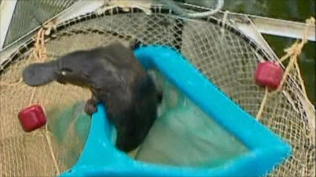 Young platypus in net