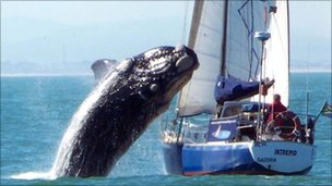 Whale landing on yacht