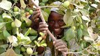 Young Nigerien Fati peeks out from a flourishing drought-resistant Sahelian apple tree © ICRISAT
