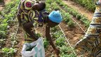 Fatima works in her vegetable garden plot while her baby sleeps, strapped to her back  © ICRISAT