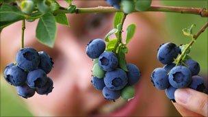 Blueberry picker plucks fruit from a bush