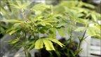 post-image-Police seize $1.7bn worth of marijuana in California