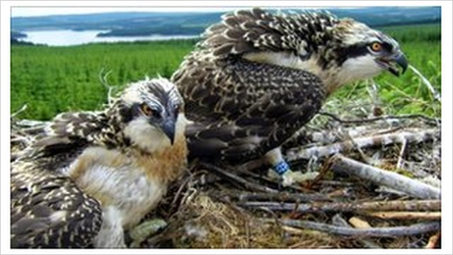 Kielder osprey chicks