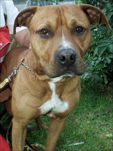Staffordshire bull terrier with its handler
