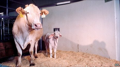 A cloned cow