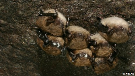 Hibernating little brown bats affected by white-nose syndrome (Image: Alan Hicks)