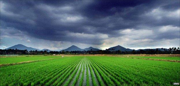 Rice fields and dark clouds