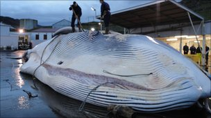 Whale at factory in Iceland