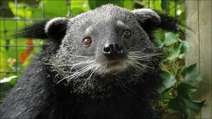 Binturong (or bearcat) at Drusillas