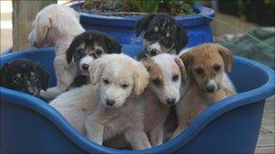 Saluki cross puppies found abandoned
