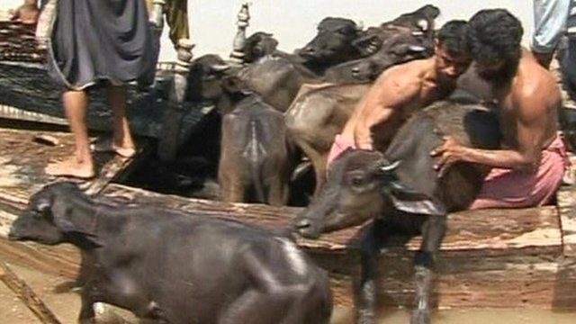 Cattle rescued from flooding in Pakistan