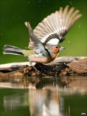 A male chaffinch bathing (Image: Science Photo Library)