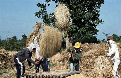 Wheat harvest in Thailand