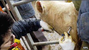 Cattle screening