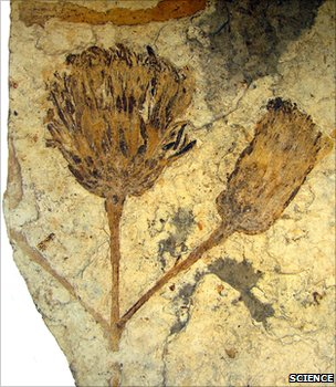 Fossil flower (Science)