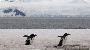 Gentoo penguins in Antarctica. File pic