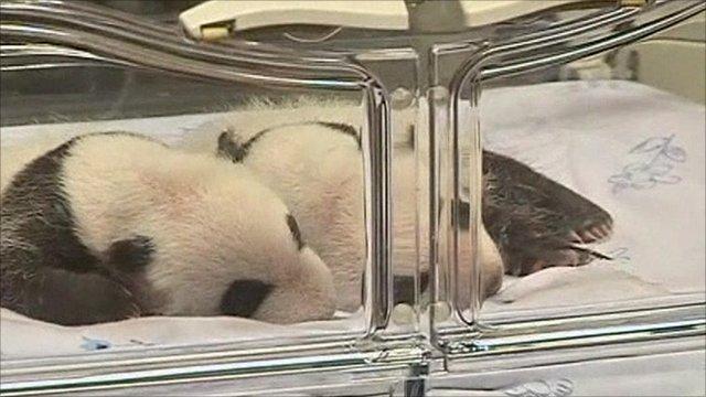 Twin pandas