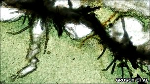 Microbial tunnels in subseafloor meta-volcanic glass from the Hooggenoeg Complex of the Barberton Greenstone belt, South Africa (Grosch et al. 2009)
