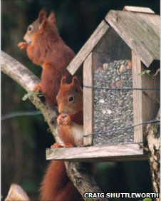 Two red squirrels at a feeder in Menai Bridge