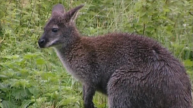 Searching For The Isle Of Man S Wild Wallabies Bbc News