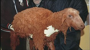 Sheep covered in red sludge
