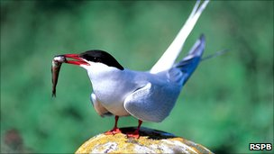 Arctic tern [Pic: RSPB]