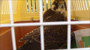 Injured falcon