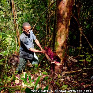 Madagascan logger (T Smith/Global Witness/EIA