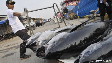 A worker unloads a fresh catch of tuna for export to the US and Japan at Muara Baru, Jakarta's fish port on May 26, 2010.