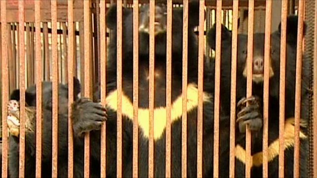 Caged moon bears