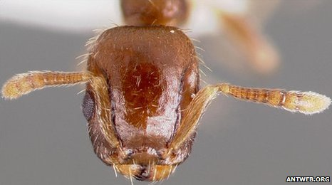 Slave-making ants target the strong not the weak
