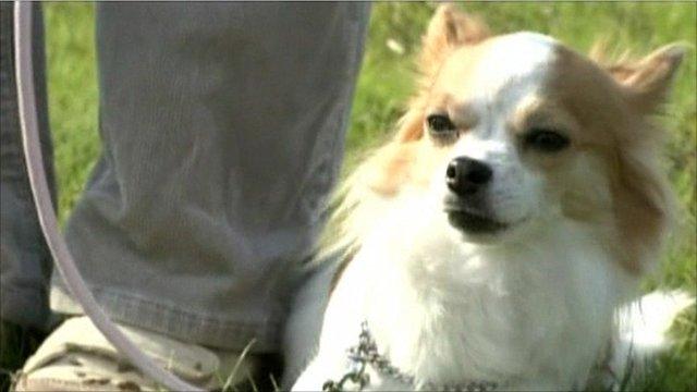 Momo, the Chihuahua