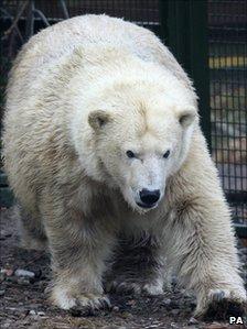 Polar bear Mercedes