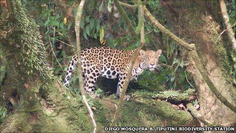Jaguar in Yasuni National Park