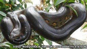 Anaconda in Yasuni National Park