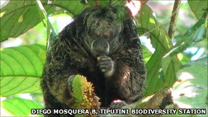Saki monkey in Yasuni National Park