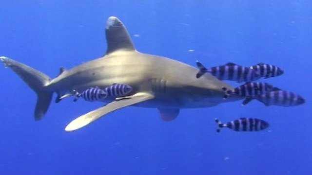 A white tipped shark
