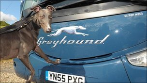 Greyhound dog with bus
