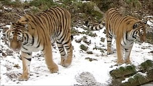 Tigers in snow at Dartmoor Zoo