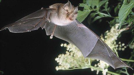 The lesser horseshoe bat