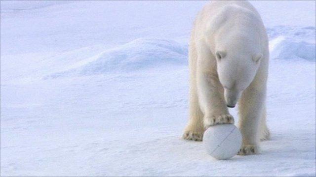 Polar bear playing with Snowball Cam