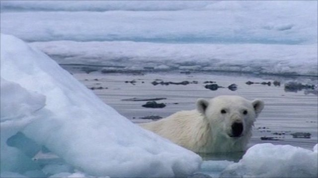 Polar bear hiding behind ice